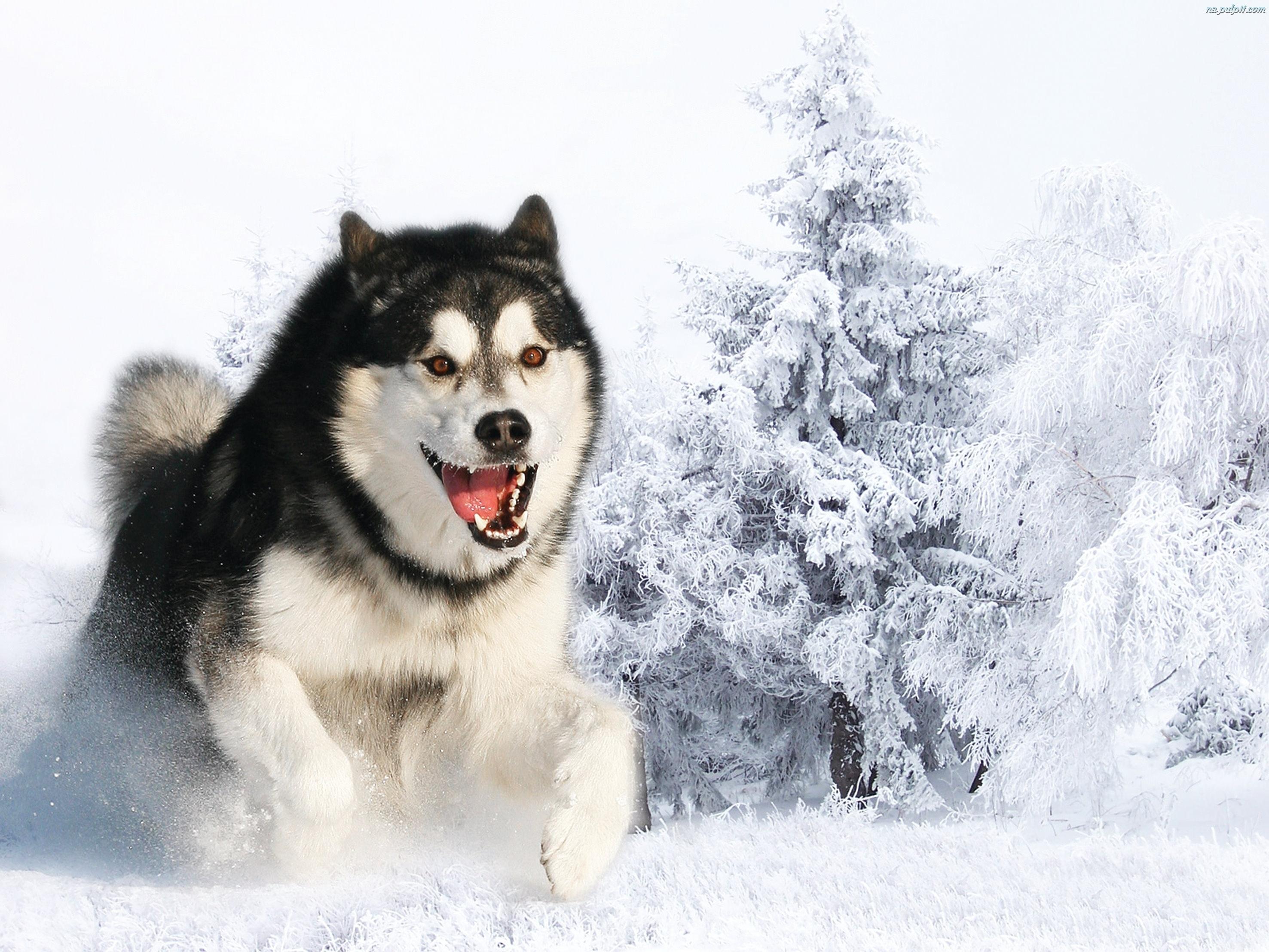 Śnieg, Husky, Siberian, Zima Na Pulpit